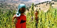 الأمم المتحدة: المغرب يبقي المصدر الأول للقنب الهندي في العالم