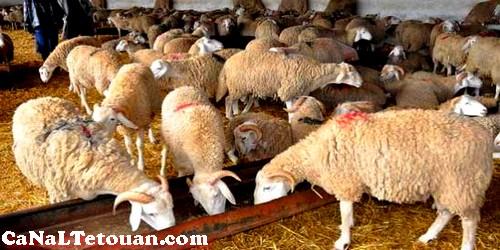 مديرية الفلاحة بجهة طنجة تطوان تطمئن المواطنين بشأن عيد الأضحى