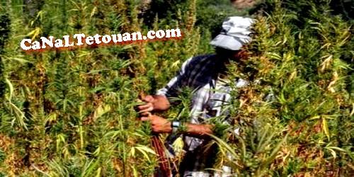 """الهيئة الدولية لمراقبة المخدرات تحذر المغرب من الترخيص لـ """"الكيف"""""""