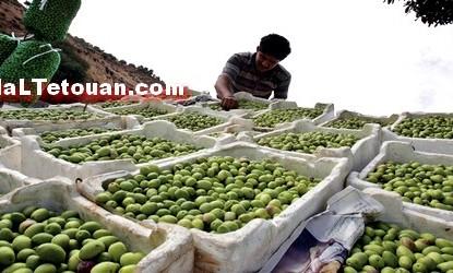 وزارة الفلاحة تسعى إلى ترميز زيت الزيتون المنتج بجهة طنجة-تطوان