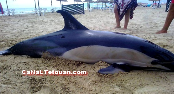 الأمواج تلفظ جثة دلفين ضخم بشاطئ مرتيل