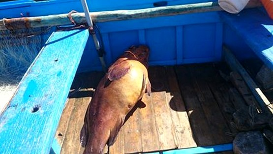 غرائب … صياد بمرتيل يصطاد سمكة ميرو وزنها 18 كيلو مصابة بالسرطان