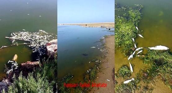 كارثة بيئية تتسبب في نفوق سمك البوري بالواد المالح في مرتيل