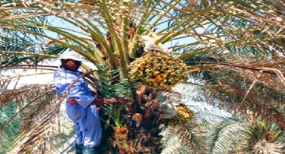 هذه هي المرتبة التي يحتلها المغرب على المستوى العالمي في انتاج التمور
