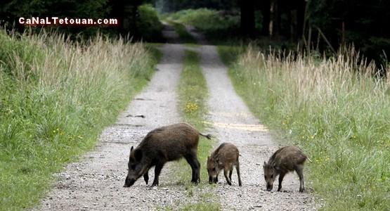 انطلاقة عملية إحاشة الخنزير البري لحماية الساكنة بتطوان