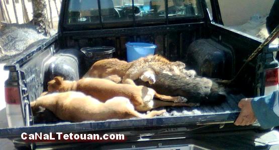 السلطات تقتل الكلاب الضالة بمرتيل رميا بالرصاص !