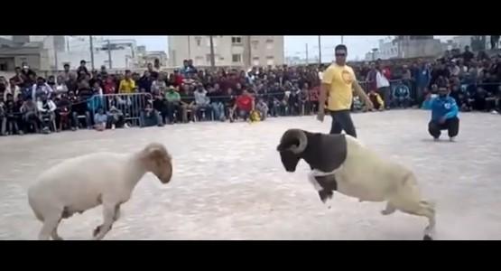 نزال لمصارعة الأكباش (فيديو)