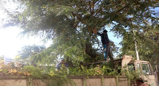 الجماعة تقوم بعملية تشذيب الأشجار بشارع المسيرة بتطوان