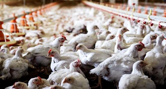 الجمعية المغربية لمربي الدواجن تفسر سبب ازدياد ثمن الدجاج