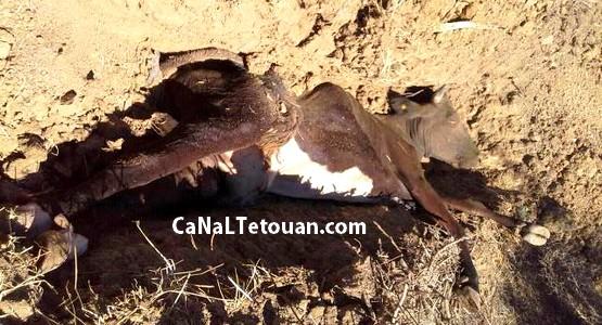 """مرض خطير يصيب البقر بقرية """"واد كلا """" جماعة صدينة اقليم تطوان والسلطات في دار غفلون !"""