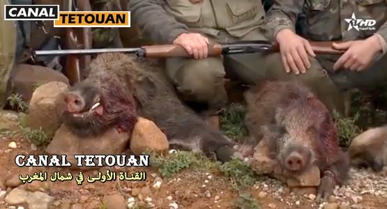 هكذا تتم عملية احاشة الخنزير البري بغابة مدينة تطوان (شاهد الفيديو)