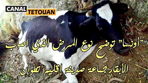 """المكتب الوطني """"ONSSA"""" يراسل """"كنال تطوان"""" ويكشف نوع المرض الذي اصاب الأبقار بإقليم تطوان"""