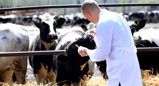 تلقيح 93 بالمائة من قطيع الأبقار ضد الحمى القلاعية بجهة طنجة تطوان