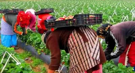 """قبول نحو 13 ألف """"عاملة فراولة"""" مغربية للعمل في حقول إسبانيا"""