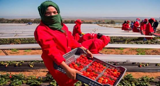 تساقطات أبريل تهدد آلاف العاملات المغربيات في حقول الفراولة بإسبانيا