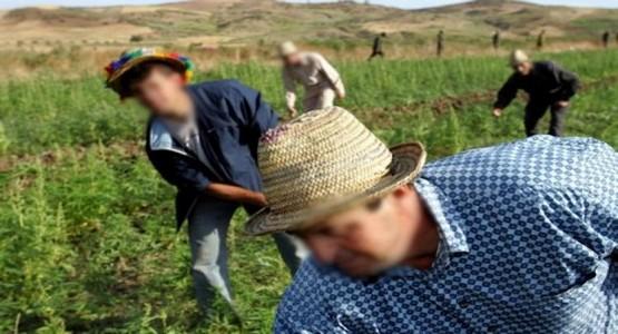 مطالب بالعفو عن 80 ألف مزارع للكيف بشمال المغرب