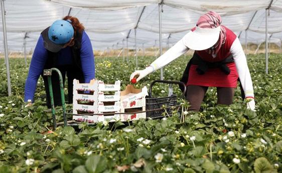 """حقول """"الفراولة"""" الاسبانية تستعد لاستقبال أزيد من 19 الف عاملة مغربية"""