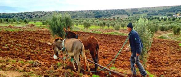 التساقطات المطرية تزيد حجم المساحات الزراعية المحروثة بإقليم تطوان