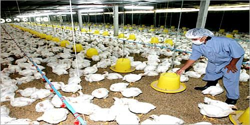 بعد الزيادة في ثمن الحليب، أعلاف الدواجن يقررون الزيادة في الأسعار