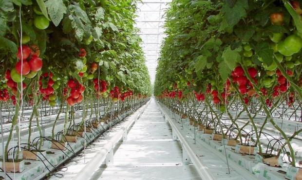 واردات الطماطم المغربية تثير مخاوف الفلاحين الإسبان